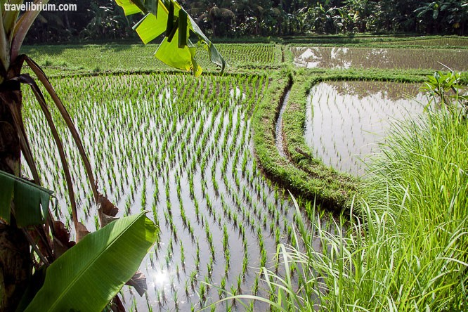 rice_fields_05