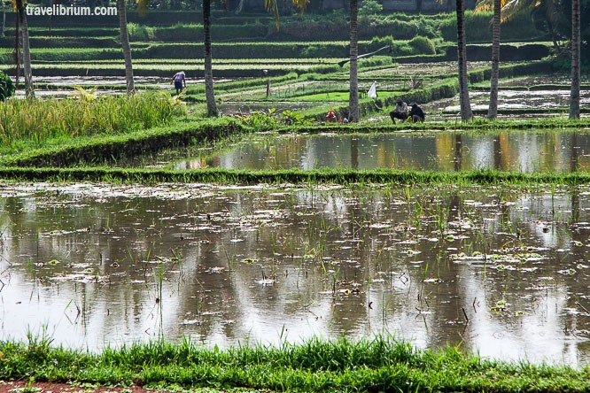 rice_fields_07