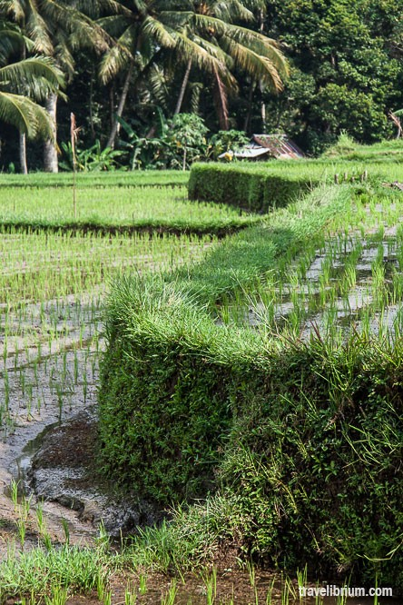 rice_fields_08