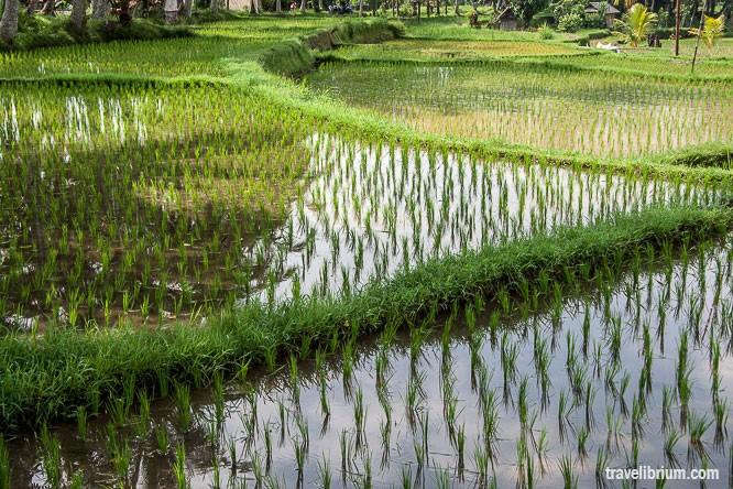 rice_fields_13