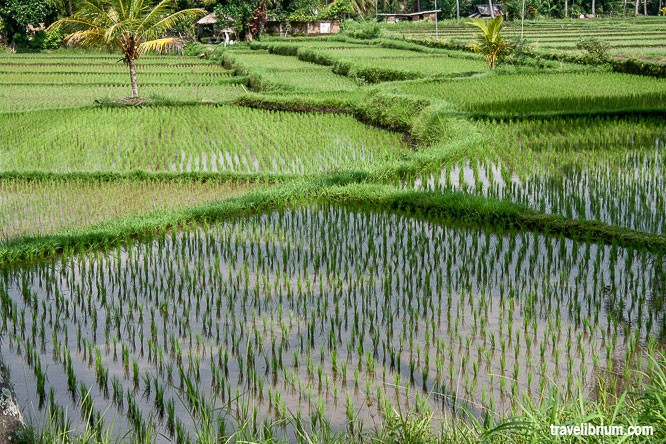 rice_fields_14