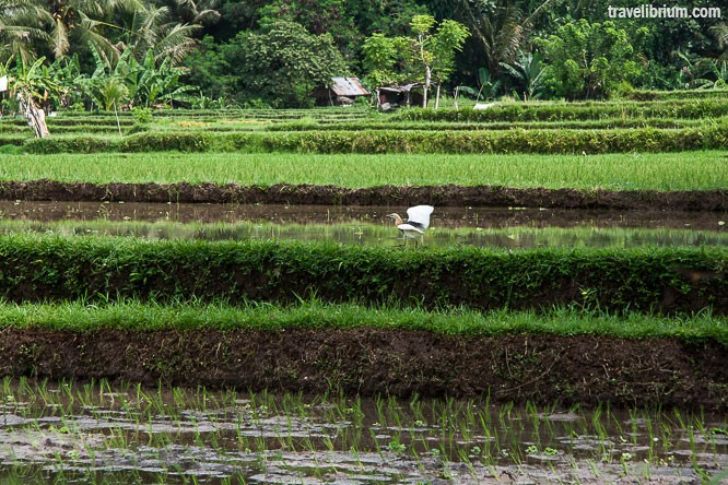 rice_fields_18