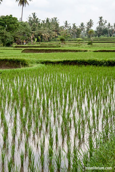 rice_fields_20