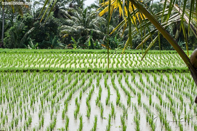 rice_fields_24