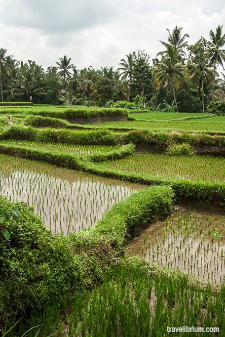 rice_fields_28