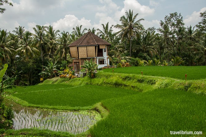 rice_fields_29